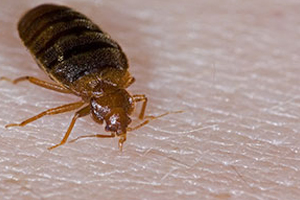 bed bug Winnipeg