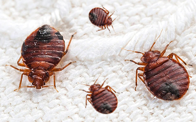 Bed Bug Control Halton Region
